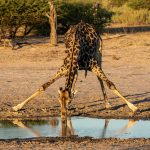 Giraffe   It's a long way down  Chiefs Camp Okavango Delta