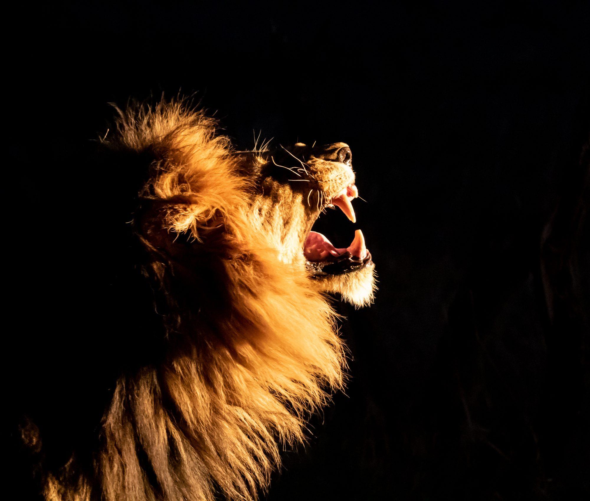 135a5993 Taste The Air (lion) 20×25