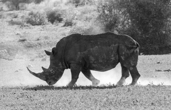 135a8203 Mud And Dust (rhino) A4