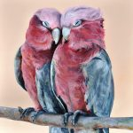 Galah Lovers