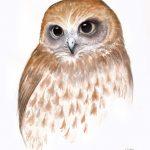 Boobook Owl watercolour study