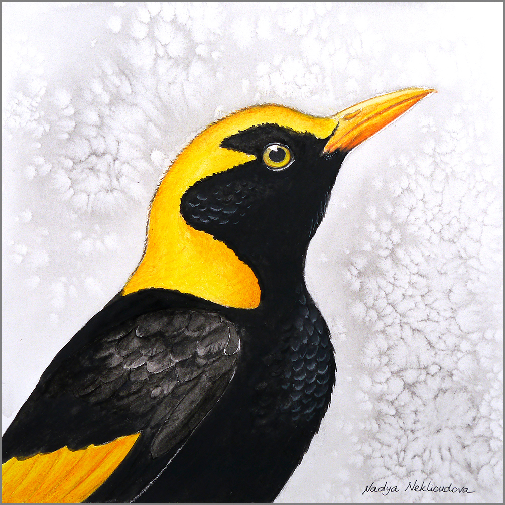 Regentbowerbird Fromjpg