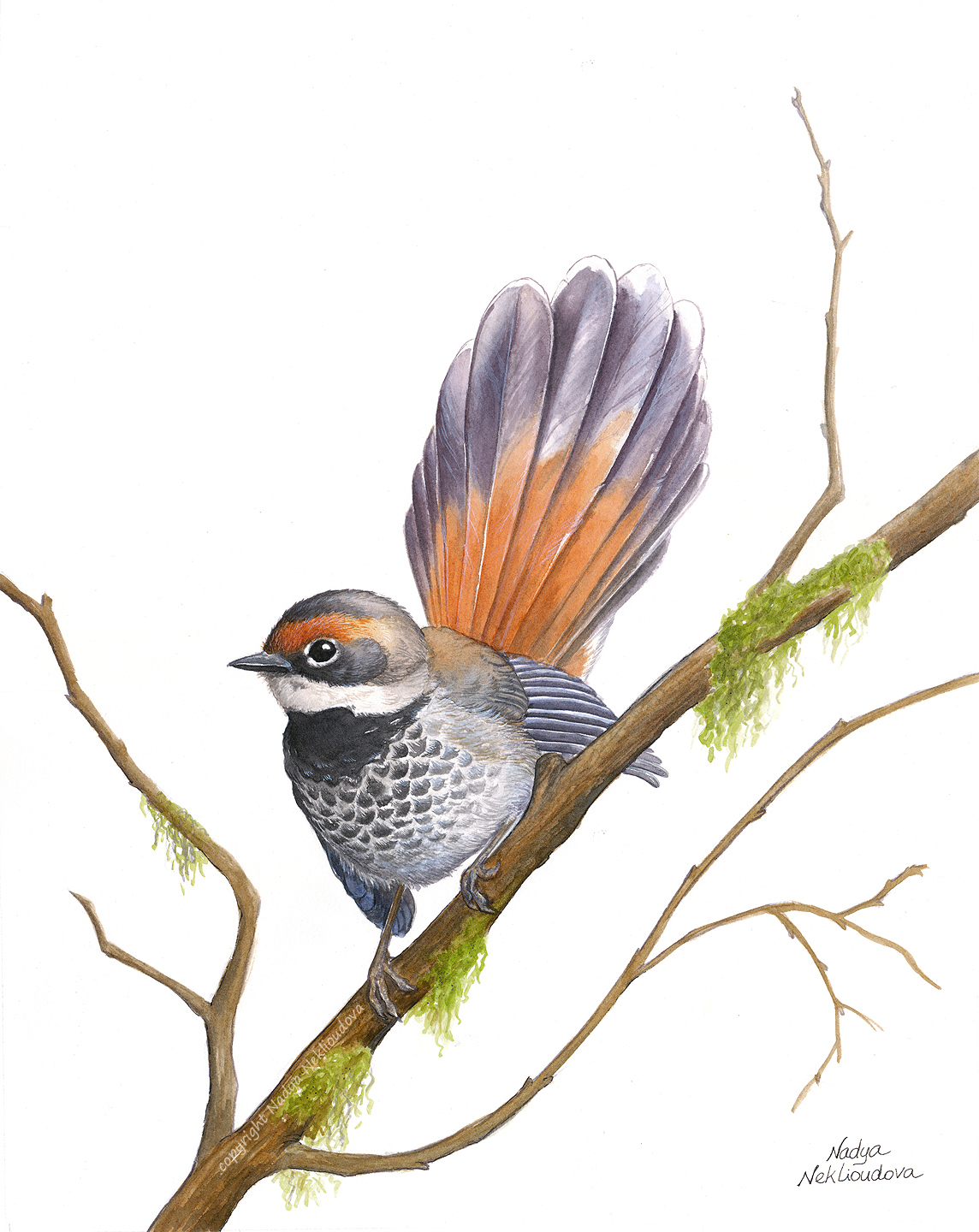 Rufousfantail Small