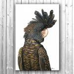 Black Beauty – Red-Tailed Black Cockatoo Ltd Ed Canvas Print