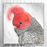 Redhead – Gang-gang Cockatoo Ltd Ed Canvas Print
