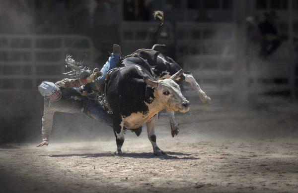 Rodeo Bull 1