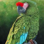 Military macaw portrait
