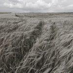 Triticale Fields