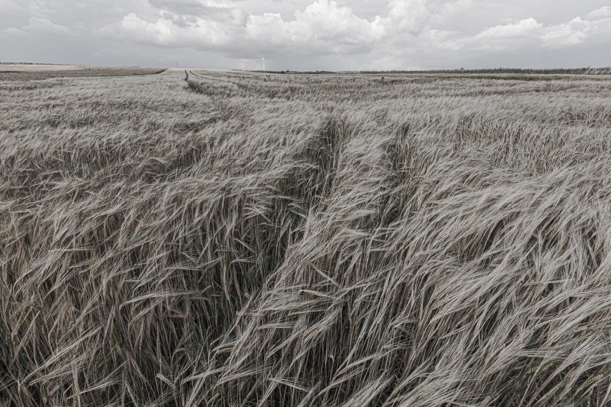 Triticale Fields Aldona Kmiec