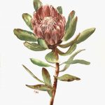 Pink Protea Flower
