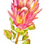 Tutti Frutti Protea