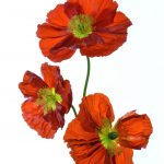 Red Poppy Bouquet  Flower Photography Print