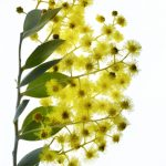 Wattle On White ~ Australian Flora