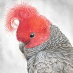 Redhead – Gang-gang Cockatoo (Bushfire Charity Print)