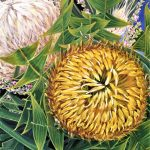 Come A Little Bit Closer – Banksia baxteri