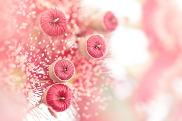 Eucalpyt Blossom Buds 1