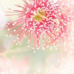 Eucalyptus Blossom Study