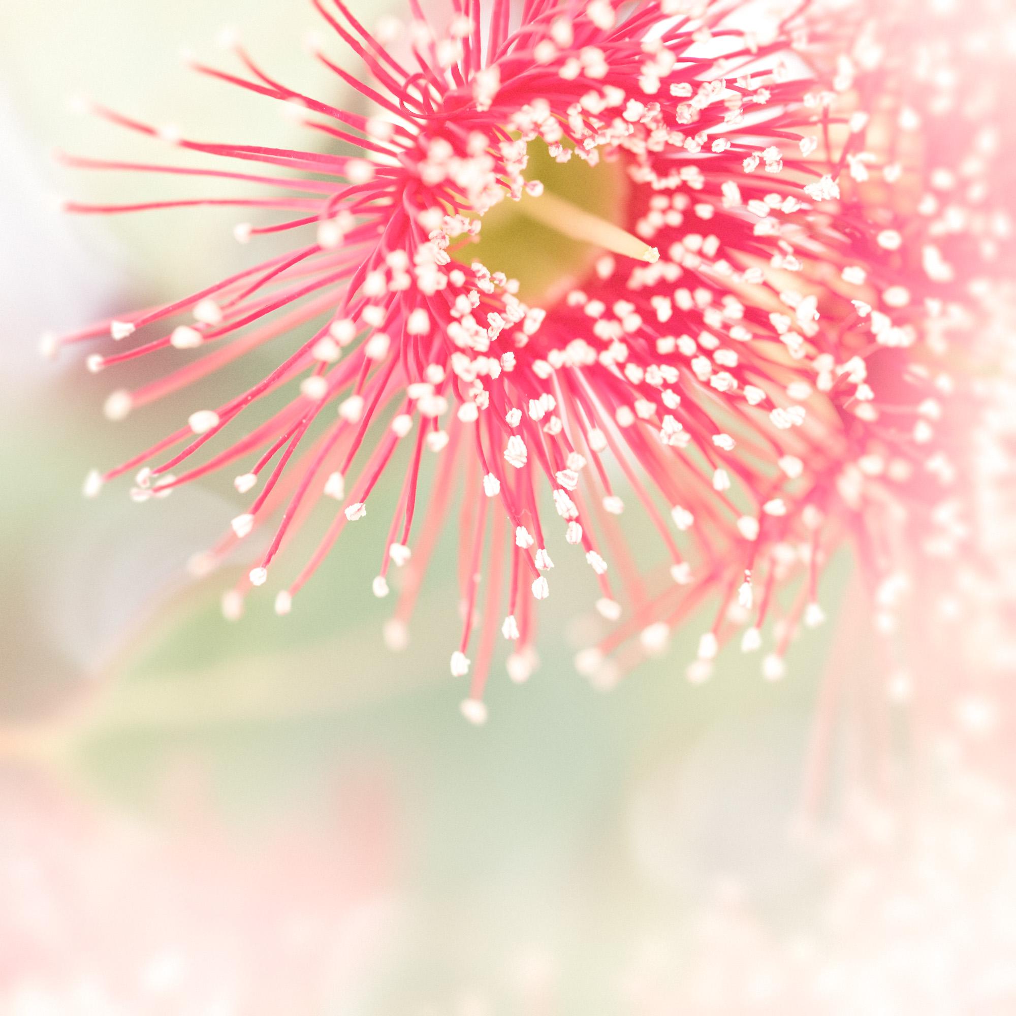 Eucalypt Blossom Study 4