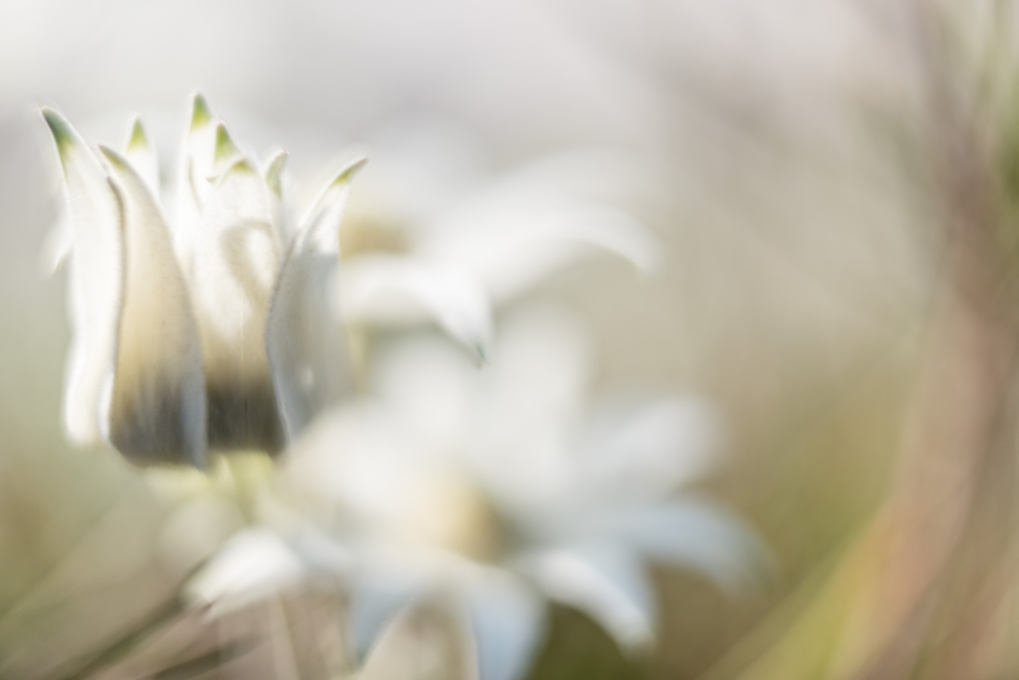 Flannel Flower Dream 3