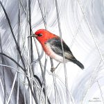 Tangled Scarlet Honeyeater