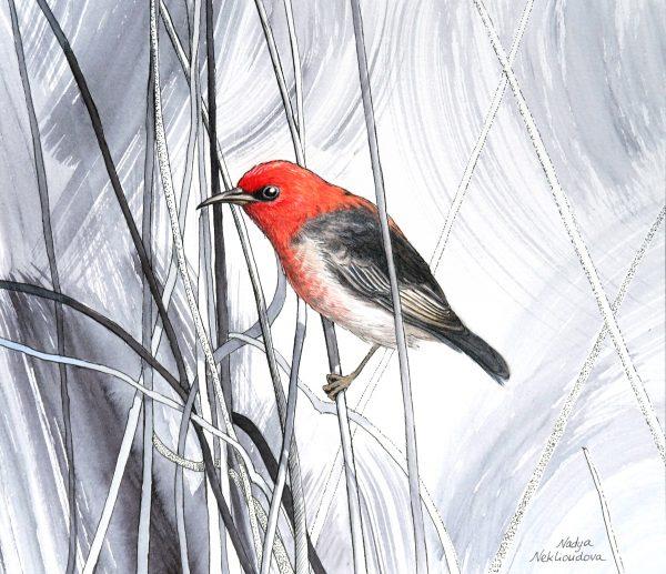 Scarlethoneyeater Tangled 1