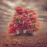Wild Bonsai – Trident Maple