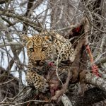 Leopard  Nestled in the Tree