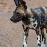 African Wild Dog Pup – Imbali Game Lodge