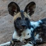 African Wild Dog Pup – Thornybush Game Reserve