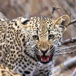 Leopard  The Prince