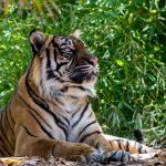 Tiger  Rhani
