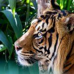 Tiger  Kembali