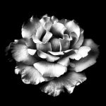 White Rose ~ Black And White Photography