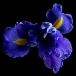 Blue Iris ~ Featured on House Rules High Stakes 2020