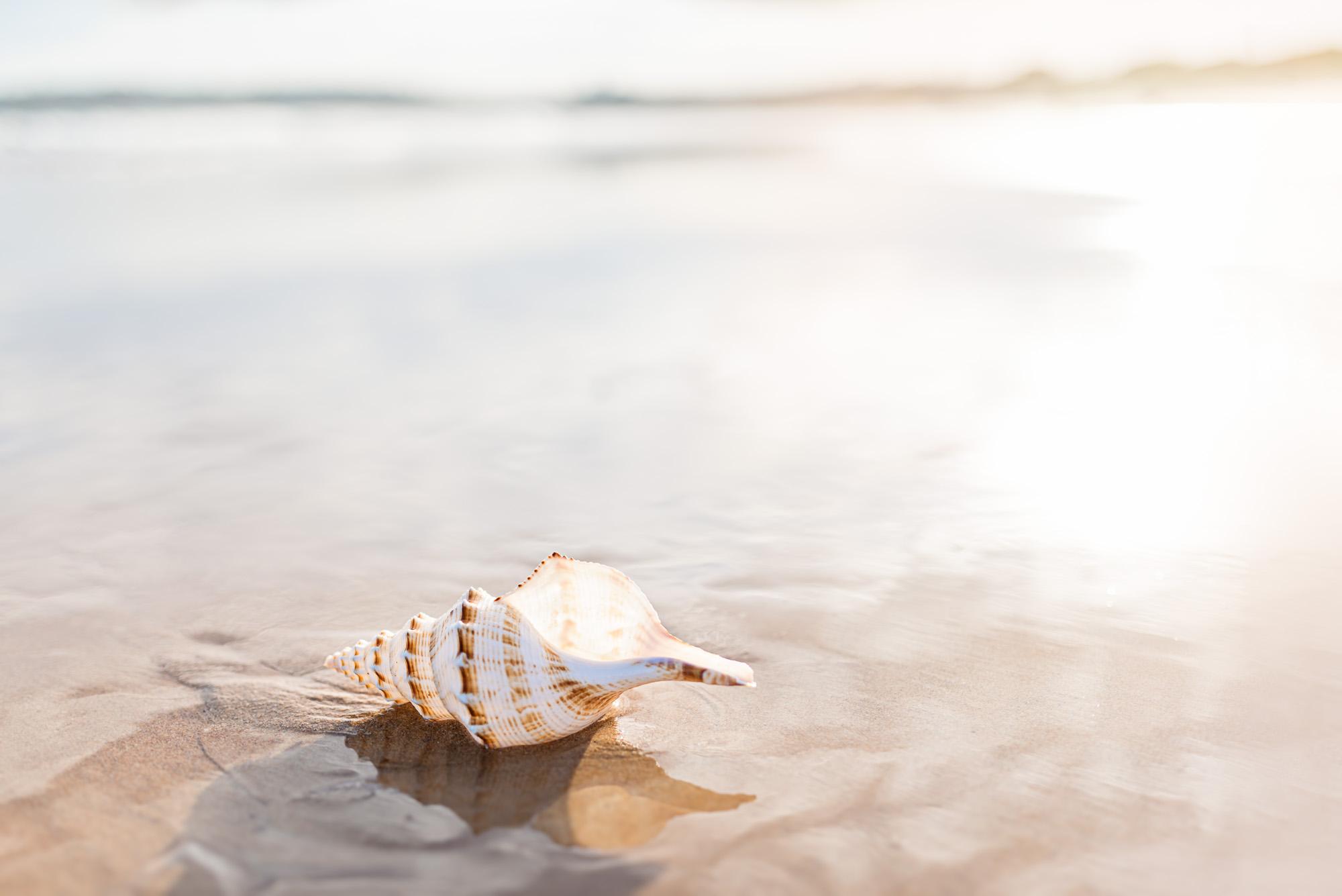 Afternoon Light Seashell