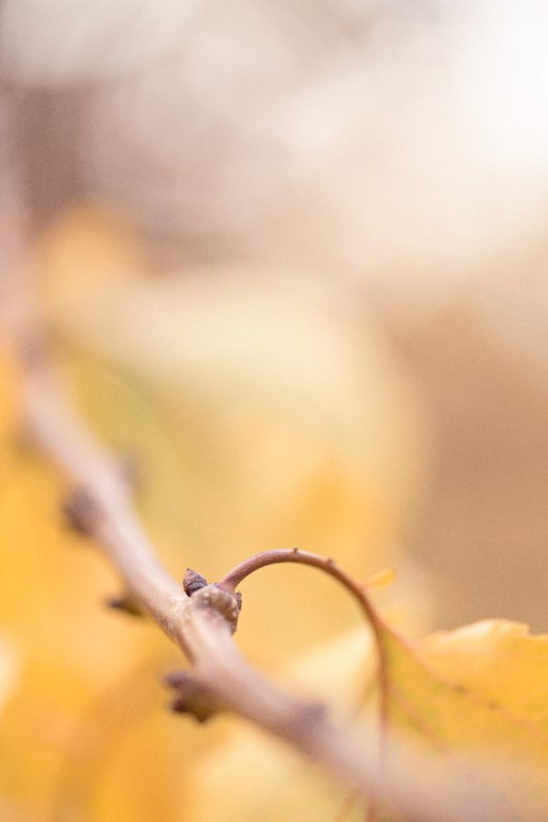 Apricot Autumn Leaves Vii