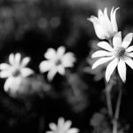 Flannel Flower Shadows 6