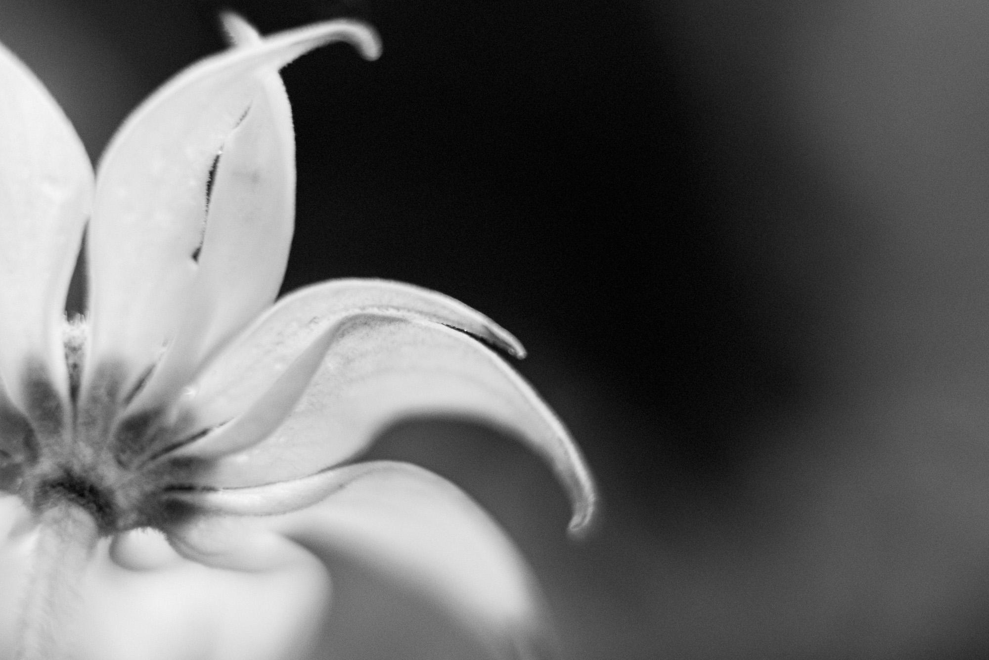 Flannel Flower Shadows L9