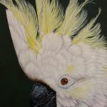 Cockatoo portrait 2 Ltd Ed giclee print