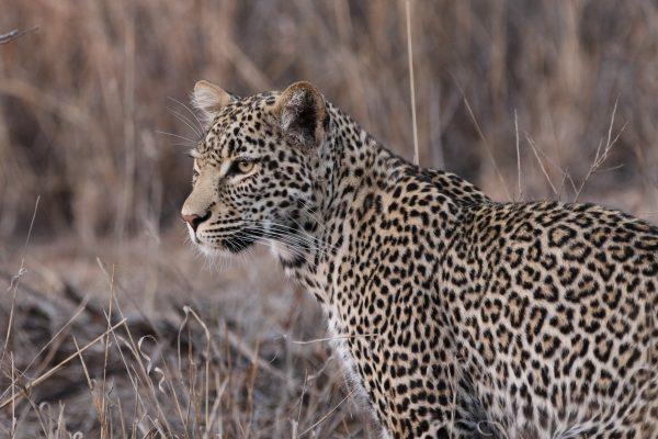 Leopardess Arathusa Sabi Sands