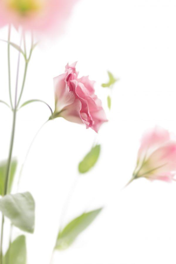 Pink Lisianthus Joy