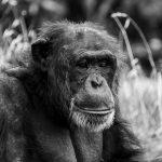 Chimpanzee Pondering