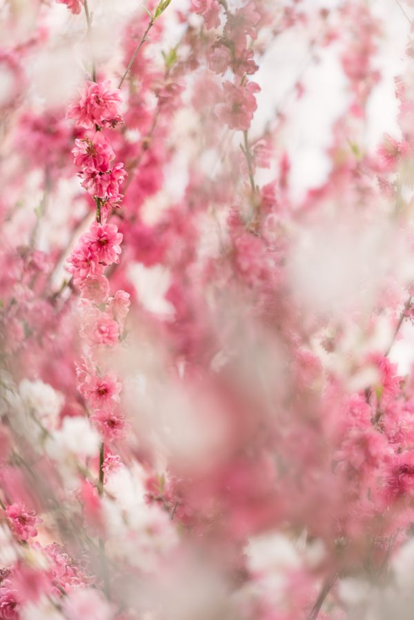 Veils Of Blossoms 2