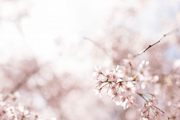Weeping Cherry Blossom Landscape 3