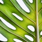 Monstera On White ~ Botanical Still Life