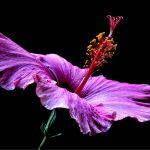 Pink Hibiscus ~ Still Life Flower