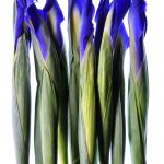 Blue Irises In A Line