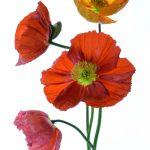 Colourful Poppy Bouquet