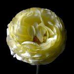 Ivory Ranunculus