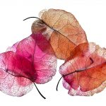 Bougainvillea Petals – Photography Print